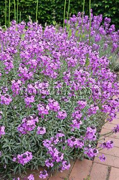 Image Aegean wallflower (Erysimum cheiri 'Bowles Mauve') - 545010 - Images and videos of plants and gardens Wallflower Plant, House Landscape, Landscape Designs, Front House Landscaping, Garden Inspiration, Garden Ideas, Birds Of Paradise Flower, Tropical Flowers, Garden Plants