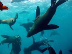 When diving near a colony of seals it is very common for them to congregate near you. This is especially true near Strawberry Rock.   Scuba dive with seals - Scuba Dive Cape Town