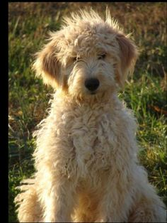 goldendoodle. i love these fools. awww..i heard they have great personalities like a golden ret. but don't shed- and haive nice soft fur/hair  like a poodle