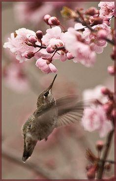 Hummingbird - and Cherry Blossom - Color Inspiration: Pink, Brown Pretty Birds, Love Birds, Beautiful Birds, Animals Beautiful, Cute Animals, Small Birds, Little Birds, Deco Rose, Fauna