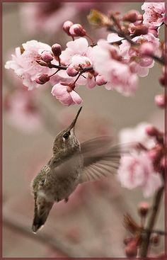 Anna's Hummer flight to nectar | Flickr - Photo Sharing!
