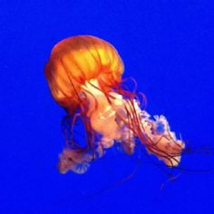 Someday... I'll have a tank o' Jellyfish