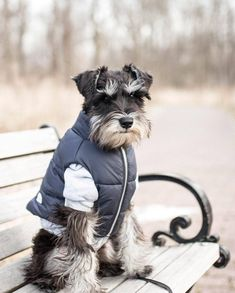 Ranked as one of the most popular dog breeds in the world, the Miniature Schnauzer is a cute little square faced furry coat. Mini Schnauzer Puppies, Miniature Schnauzer Puppies, Giant Schnauzer, Miniature Dogs, Cute Puppies, Cute Dogs, Dogs And Puppies, Doggies, Schnauzer Grooming