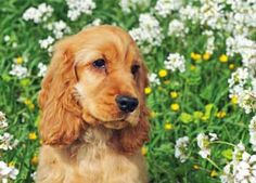 Golden cocker spaniel puppy sitting in a field of buttercups and wildflowers