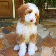 http://www.millersgoldenretrievers.com Golden Retriever, Goldendoodle and Mini Goldendoodle Puppies for sale in South Carolina - USA! We make it easy for you to find the perfect puppy for your family. We are breeders but we continuously work with other breeders to meet our high levels of care for your future pet and also make sure we always have a puppy available for a family in need and looking.