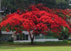 Flamboyan tree, Peñuelas, PR