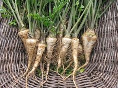 """Hamburg parsley (CherryGal) appears to be what Paul's grandmother grew and called """"parsley root."""" Not a parsnip, but parsley with an edible root. Excited to try it. Everlasting Sweet Pea, Early Girl Tomato, Sweet Pea Seeds, Tomato Seeds, Herb Seeds, Natural Health Remedies, Plant Hanger, Health And Beauty, Roots"""