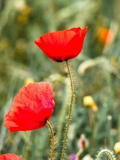 Coquelicot Papaver rhoeas L. Wild Plants, Plants, Papaver, Flowers And Leaves, Flowers, Permaculture, Edible Plants, Poppies, Garden
