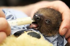Sjakie The Baby Sloth