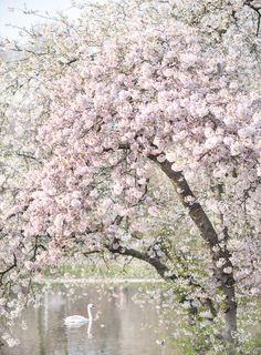 Lovely Clusters - Online Curator : London Photography - Spring in St James Park, Pink Blossom Tree Art Print Pink Blossom Tree, Spring Blossom, Cherry Blossoms, St James' Park, Floating Flowers, London Photography, Photography Flowers, Photography Ideas, Nature Photography