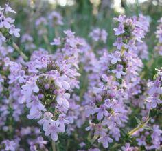 Le thym est en fleur en ce moment, il est temps de faire les réserves pour l'hiver prochain. Il est essentiel pour la prévention des bronchites. Voici mon article paru dans le Plantes et Santé de Janvier ou je vous explique comment en faire un sirop d'une manière simple et rapide.