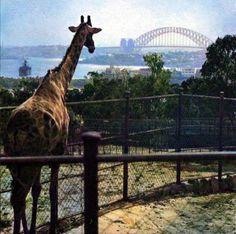 Meanwhile In Australia, Giraffe, Animals, Giraffes, Animales, Animaux, Animal, Animais, Dieren