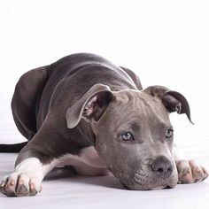 #actijoy #americanstaffordshireterrier #puppy #dog