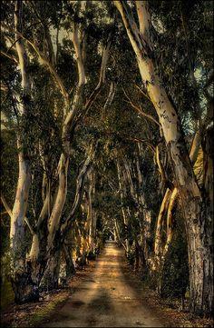 Eucalyptus Trees form Tunnel, Ojai, California photo via rachel The Places Youll Go, Places To See, Beautiful World, Beautiful Places, Nature Tree, California Dreamin', Jolie Photo, Logs, Alaska