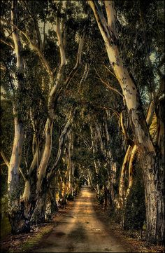 ...eucalyptus lane in Ojai, California.. This is beautiful, and it reminds me of an old lane between napa and somoma.