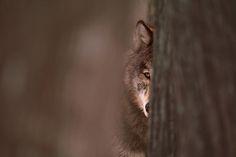 * le loup *