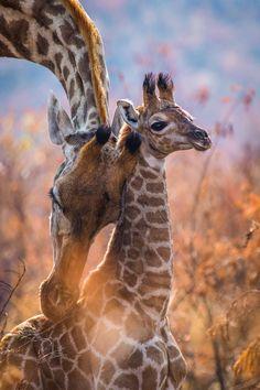 A giraffe mother with her calf in Pilanesberg National Park, South Africa © Rodney Nombekana Africa Travel Destinations Safari Animals, Nature Animals, Animals And Pets, Baby Animals, Baby Elephants, Giraffe Pictures, Animal Pictures, Beautiful Creatures, Animals Beautiful