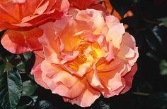 Rosa FELLOWSHIP 'Harwelcome'