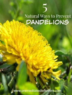 5 Natural Ways to Prevent Dandelions- Dandelions smother other plants and create unsightly weed patches in your yard and garden. Remove them naturally with these natural DIY gardening tips.