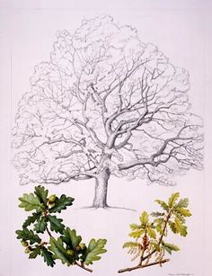 English Oak (Quercus robur)