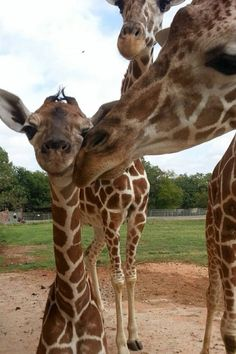 The Oklahoma City Zoo is celebrating a special fall delivery—a female giraffe born on September 26! The calf went outside for the first time to meet her family on October 1. She's pictured here with her big brother, Sergeant Peppers, as mom Ellie looks on. See more photos at ZooBorns: http://www.zooborns.com/zooborns/2013/10/giraffe-oklahoma-zoo.html
