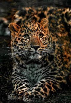 Beautiful leopard cub by Peter Hausner Hansen