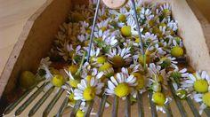 Kamilla #gyógynövény Plants, Plant, Planting, Planets