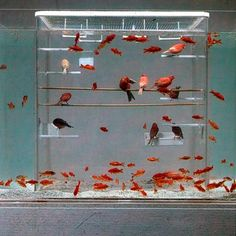 Bird cage submerged in an aquarium. The plastic walls protect the birds from the water...whoa.