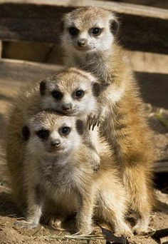 Three meerkat pups, San Diego Zoo, Calif. (Ken Bohn/© 2008 The Zoological Society of San Diego)