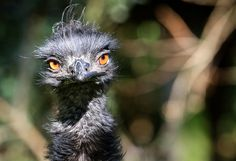 An Emu bird is pictured on October 11, 2012 in its outdoor enclosure in the Duisburg zoo, northwestern Germany. Emus are the second largest member of the ratite group of flightless birds. (AFP Photo) #animals