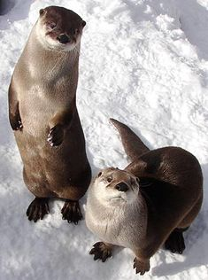River otters, Hutchinson Zoo, River otters are one of my favorite animals....and related to my ferret Missy:)