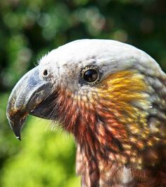 Native beauty. The New Zealand Kaka, also known as Kākā, (Nestor meridionalis) is a New Zealand parrot endemic to the native forests of New Zealand.