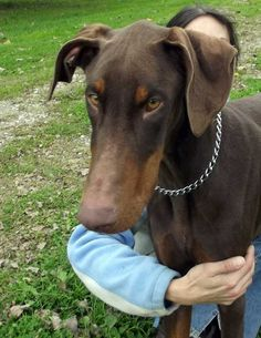 Dozer is a 14 month old, red, male Doberman. Dozer is still really a puppy and is still growing. He came in very skinny, and he still needs to gain some more weight. Dozer is a sweet boy who loves people. He just has never had anyone spend any time...