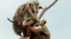 A few baby possums hanging out together. Happy Animals, Zoo Animals, Funny Animals, Pretty Animals, Cute Baby Animals, Baby Opossum, Little Critter, Animal Memes, Spirit Animal
