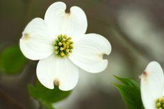 State Flowers Photo Gallery: North Carolina State Flower - Flowering Dogwood