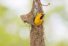 Altamira Oriole   Audubon Field Guide