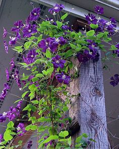 Clematis 'Etoile Violette'.