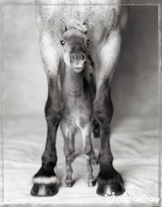 Jumbo and Nippa (Clydesdale and Miniature Horse) - Nippa loves to shelter under caring Jumbo.