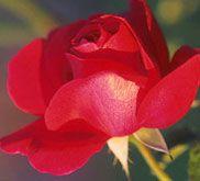 Discover Oklahoma symbols and emblems. Retirement Celebration, Northern California, Oklahoma, Gardening Tips, Beautiful Flowers, Symbols, Pure Products, Rose, Creative