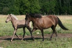 Estonian Native horse is related to the extinct Öland horse, from Norway. Tests authorised by associations dedicated to the Öland Horse have revealed that these two breeds have a genetically similar background, so Estonians have been imported to Norway to reconstruct their missing breed.