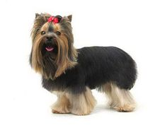 Yorkie haircuts for males and females + pictures) - Yorkie. Yorkie Cuts, Yorkie Haircuts, Yorkies, Westies, Yorkshire Terrier, Hair Cuts, Lovers, Female, Pictures