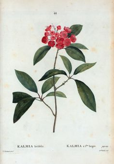 Kalmia latifolia = Kalmia á filles. Larges - ID: 1108773 - NYPL Digital Gallery Botanical Illustration, Botanical Prints, Kalmia Latifolia, Joseph, Library Services, New York Public Library, Botany, Garden Design, Gallery Wall