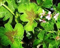 Chocolate Mint Scented Geranium
