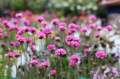 Armeria Rubrifolia - Deep rose-pink flowers tinted with white above a dark spreading evergreen mound. Plant in full sun on well drained soil. Suitable for rockeries, walls, gravel gardens and containers. Pink Roses, Pink Flowers, Gravel Garden, Fine Gardening, Colorful Garden, Goods And Services, Garden Furniture, Evergreen, June