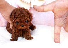 tiny dog breeds that stay small image
