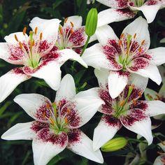 Lilium asiatic Cecil - 3 flower bulbs