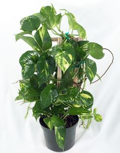 "Golden Devil's Ivy - Pothos - Epipremnum - 6"""" Pot/Trellis - Very Easy to Grow"