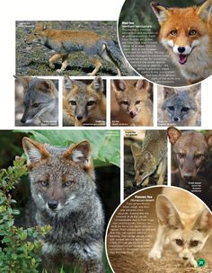 World of Animals - FOX - Issue 18 - April 2015 | SOURCE: http://readfreemagazines.com/issue/8598-world-animals-fox-issue-18-2015?page=1 → #Fox #Carnivore #MyTotem