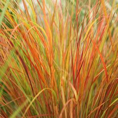 Buy pheasant's tail grass (syn. Stipa arundinacea) Anemanthele lessoniana: Delivery by Crocus