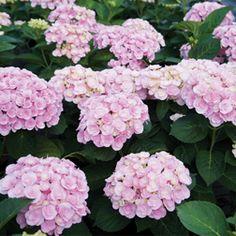 Bigleaf Hydrangea 'Love'. Hydrangea macrophylla. 3' tall.